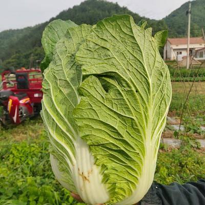 陜西省寶雞市太白縣 優質大白菜,