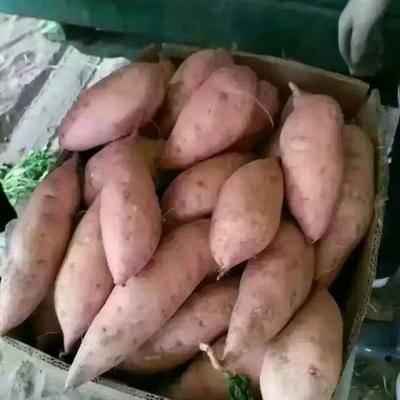 河南省開封市祥符區 開封紅薯大量上市