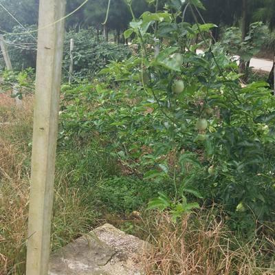 廣西壯族自治區桂林市荔浦縣 紫色百香果5斤40元包郵