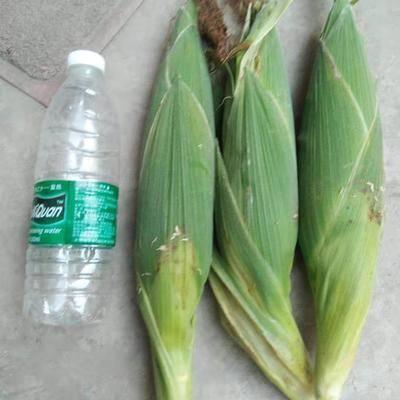 河南省商丘市永城市水果玉米 甜 帶殼