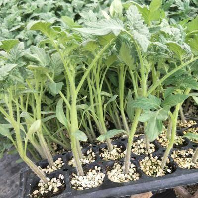 山東省濰坊市壽光市毛粉番茄苗 優質蔬菜種苗