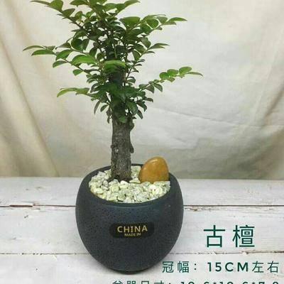 廣東省廣州市荔灣區小葉紫檀盆栽