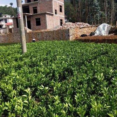 云南省紅河哈尼族彝族自治州建水縣臍橙樹苗 品種優良,有喜歡的老板歡迎訂購
