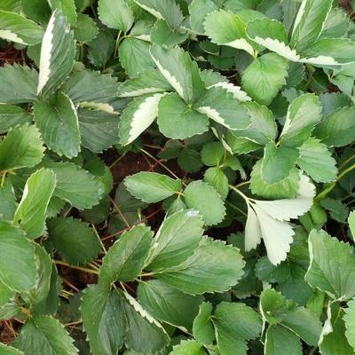 安徽省滁州市明光市紅顏草莓苗 10~20公分 地栽苗