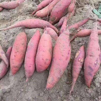 福建省漳州市漳浦縣板栗薯 純海邊沙地種植紅蜜薯