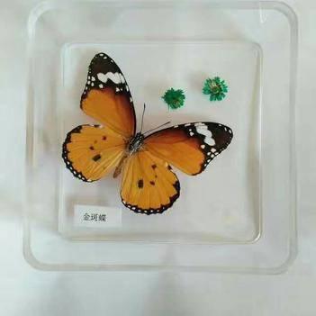 皇后蝶 出售各類活體蝴蝶,蝴蝶用于標本,用于蝴蝶工藝品制作。
