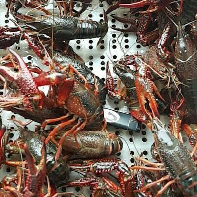 江蘇省泰州市興化市興化小龍蝦 興化蝦