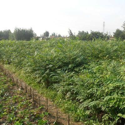 山東省泰安市岱岳區 紅油香椿苗優質品種基地直供