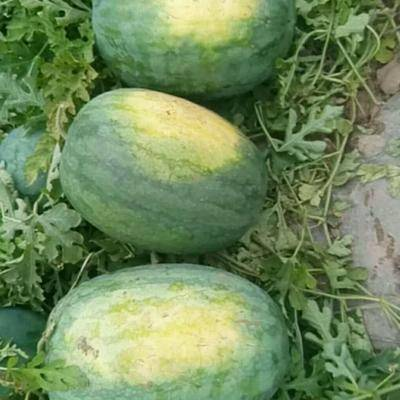 河北省衡水市饒陽縣龍卷風西瓜 10斤打底 9成熟 1茬 有籽