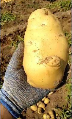 山東省濱州市惠民縣荷蘭15號土豆 給錢就賣