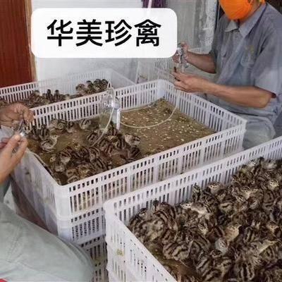 廣東省江門市新會區 華美珍禽全年供應優質山雞苗,支持全國各地發貨