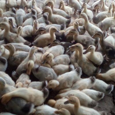 廣西壯族自治區北海市合浦縣雜交鴨 2斤以下 統貨 全散養