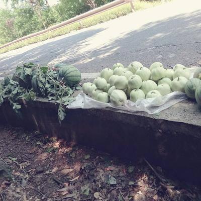 湖南省湘西土家族苗族自治州吉首市甜王西瓜 1斤打底 8成熟 2茬以上 有籽