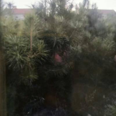 河北省張家口市懷安縣山地油松 本合作社旗下有5000棵油松苗急于出售。