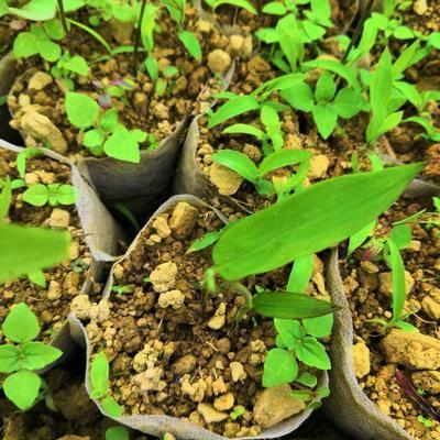 云南省昭通市彝良縣 方竹苗  大量提供裸根