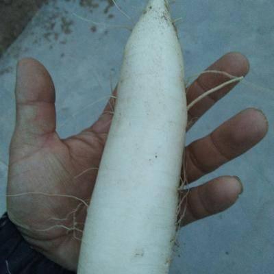 河北省張家口市橋東區 內蒙白蘿卜種植地塊開始賣地了
