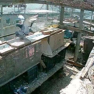 河北省石家莊市正定縣 出售健康鴿子