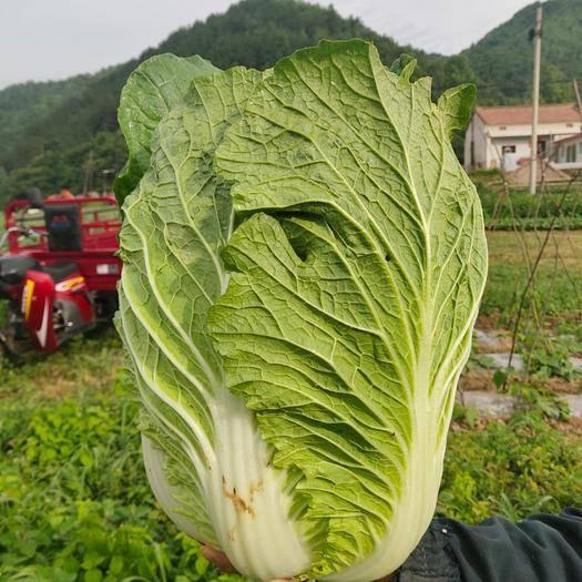 陕西省宝鸡市太白县 优质大白菜