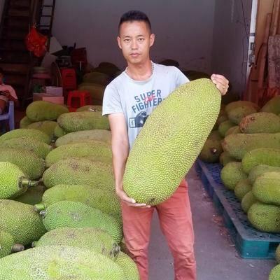 廣東省茂名市電白區 正宗馬來一號,黃肉菠蘿蜜