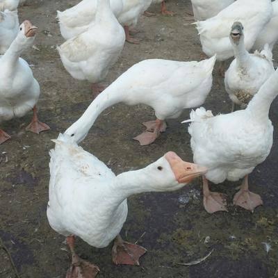 安徽省蚌埠市淮上區 散養鵝