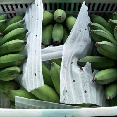 廣東省湛江市麻章區海南蕉 八成熟