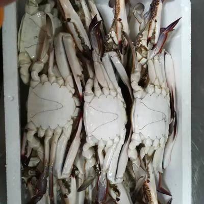 浙江省舟山市定海區 預售八月份的梭子蟹,活的,死的,都有。