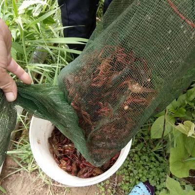 湖南省婁底市雙峰縣清水小龍蝦 龍蝦優惠供應紅蝦300每天