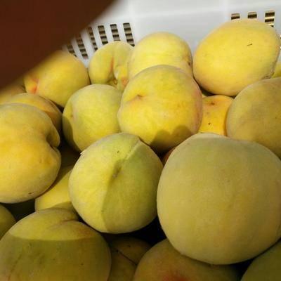 安徽省宿州市碭山縣 安徽碭山萬畝83黃金桃基地,市場桃,罐頭加工桃大量上市了
