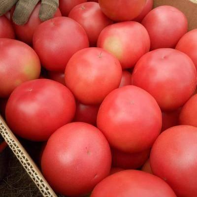 甘肅省蘭州市榆中縣 西紅柿