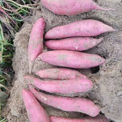 福建省漳州市漳浦縣 正宗海邊純沙地種植紅薯 專業電商一件代發落地配