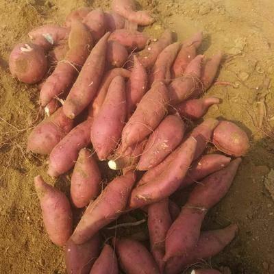 山東省濟寧市泗水縣商薯19號 商薯19,山地沙土面甜,