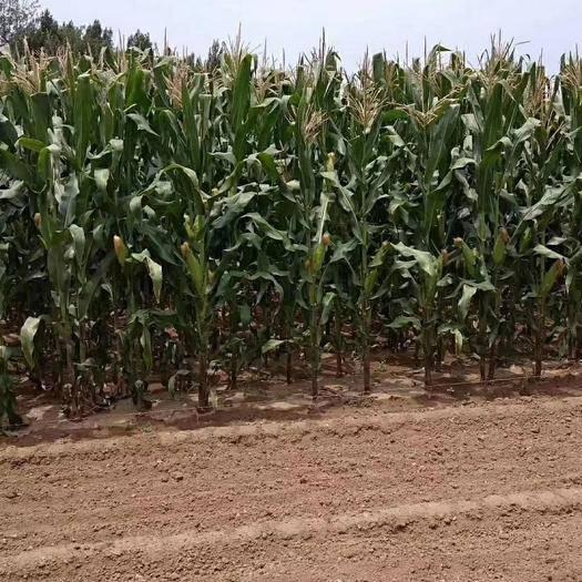 山東省萊蕪市鋼城區 農家鮮玉米