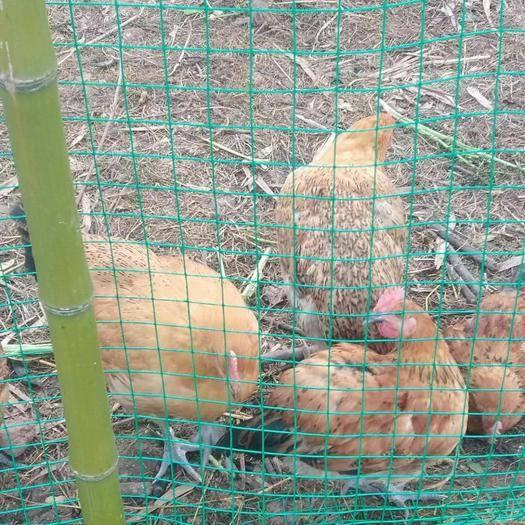 四川省遂寧市安居區 鄉村純種土雞只有3---4斤重,120一只
