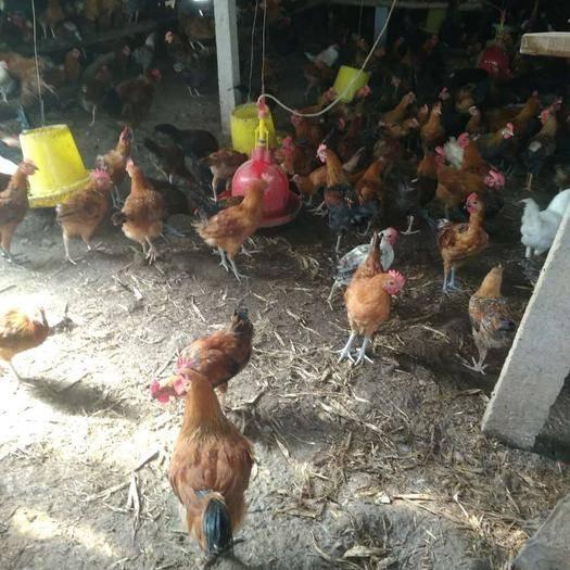 山東省菏澤市東明縣 出售4個多月柴雞,3斤左右,常年養殖,歡迎質詢