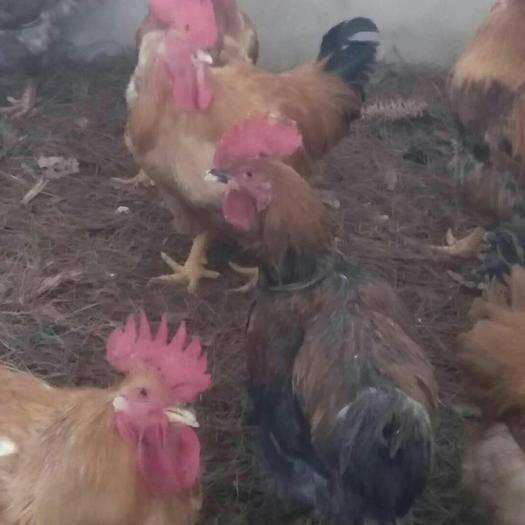 貴州省畢節市威寧彝族回族苗族自治縣 散養土雞及黃腳雞