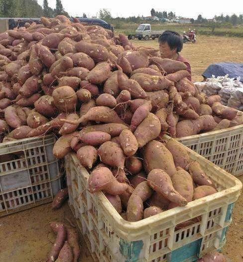 陜西省漢中市西鄉縣 紅薯 商薯19號  大量供應