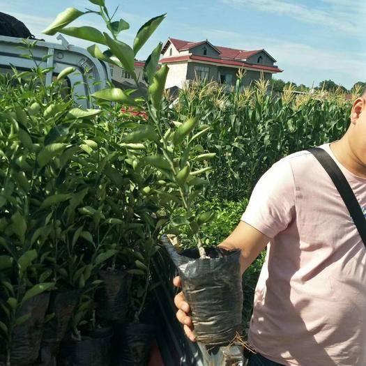 四川省成都市金堂县明日见柑橘苗 出售明日见营养杯苗和地苗