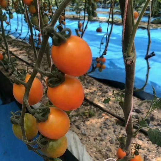 上海青浦區硬粉番茄 通貨 弧三以上 硬粉