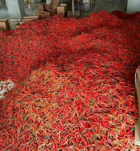 河南省商丘市睢陽區 河南萬畝辣椒基地,小米椒艷紅大量上市,質好價優
