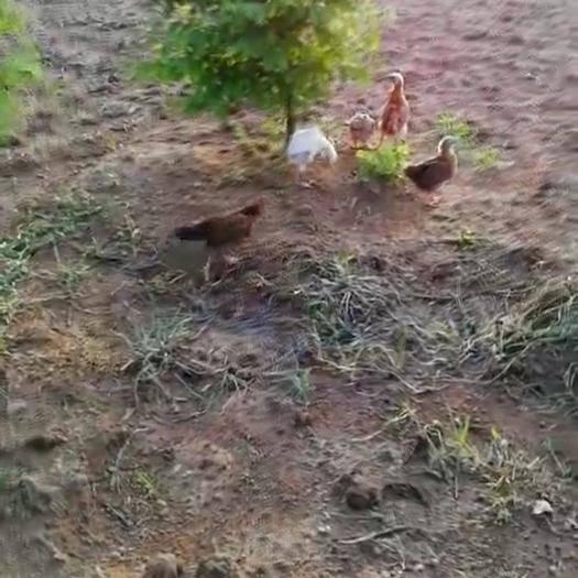 湖北省武漢市江夏區 全散養土雞生態雞批發零售