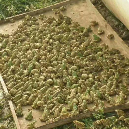 湖北省潛江市潛江市 青蛙個個頭大,長得漂亮,價格美麗。