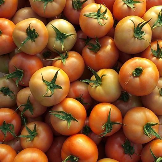 云南省紅河哈尼族彝族自治州彌勒市石頭番茄 品種好決定價格