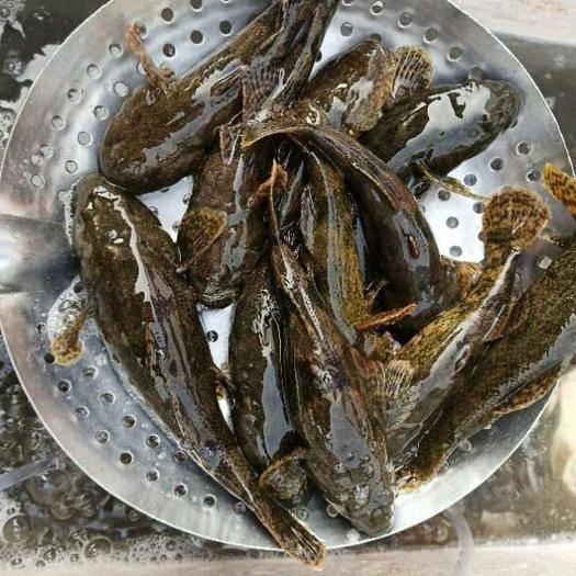 江蘇省常州市新北區蝦虎魚 虎頭沙歡迎訂購
