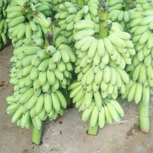 廣東省湛江市麻章區 粉蕉要漲價了各位老板有需要的趕緊下單。