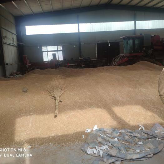 河北省衡水市武邑縣 出售百畝小麥