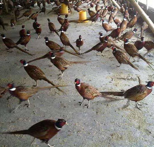 廣西壯族自治區欽州市靈山縣 美國七彩山雞