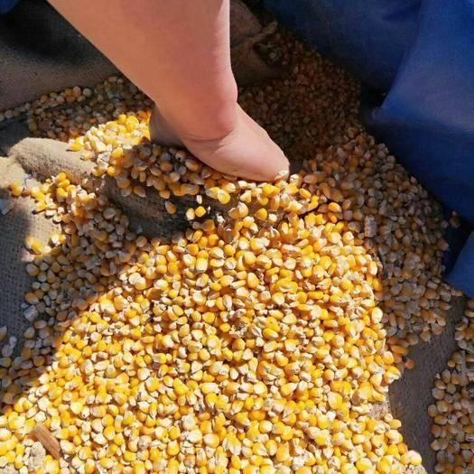 黑龍江省黑河市五大連池市玉米干糧 玉米