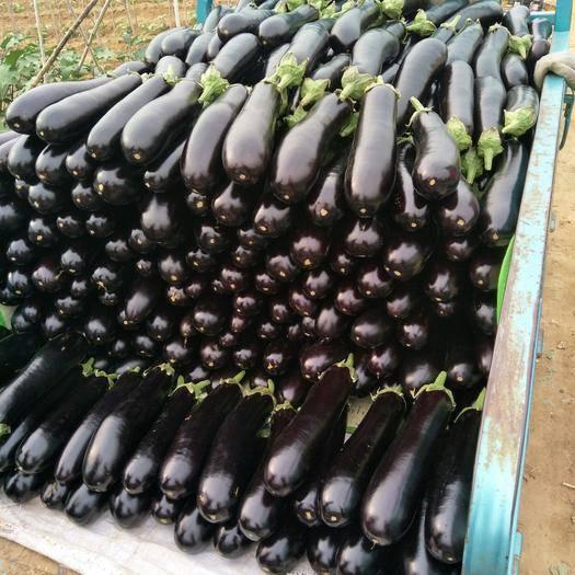 山東省臨沂市蘭陵縣 陸地各種茄子大量有貨