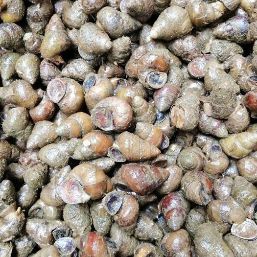 貴州省黔東南苗族侗族自治州凱里市石螺 薄殼鮮活個大美味