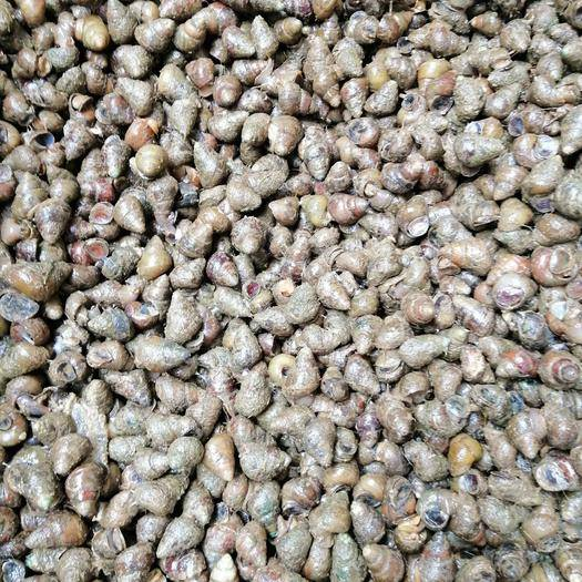 貴州省黔東南苗族侗族自治州凱里市石螺 薄殼鮮活